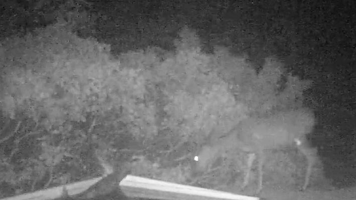 Vídeo raro: leão da montanha ataca cervo
