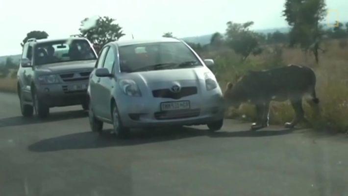 Leão aprende do jeito mais difícil a não caçar carros