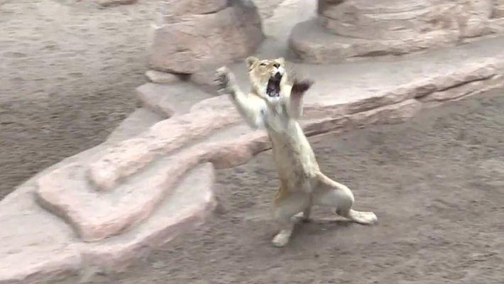 Leões resgatados reaprendem a caçar