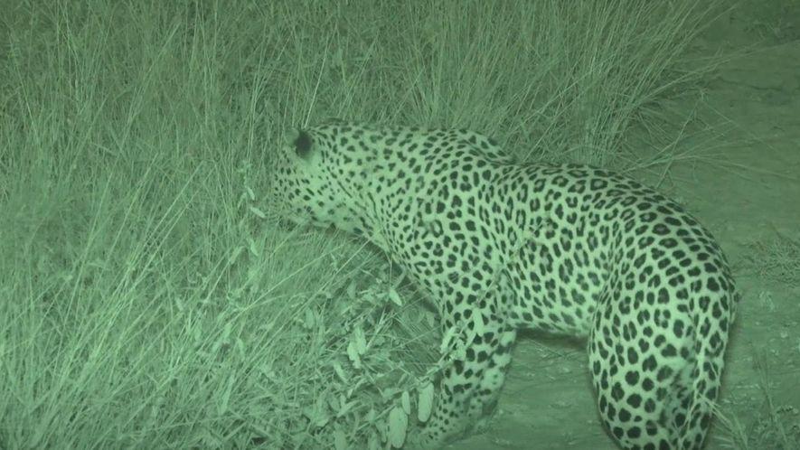 Veja um leopardo caçando um javali-africano totalmente desprevenido