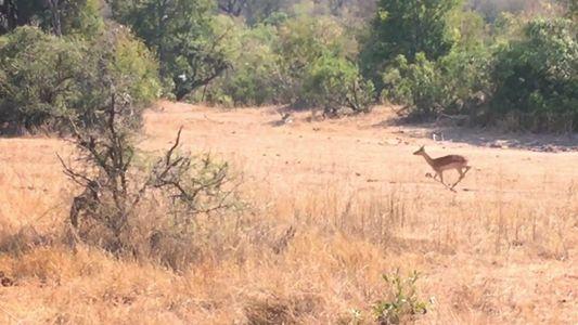 Cadê o Leopardo? Tente enxergá-lo antes que sua presa.