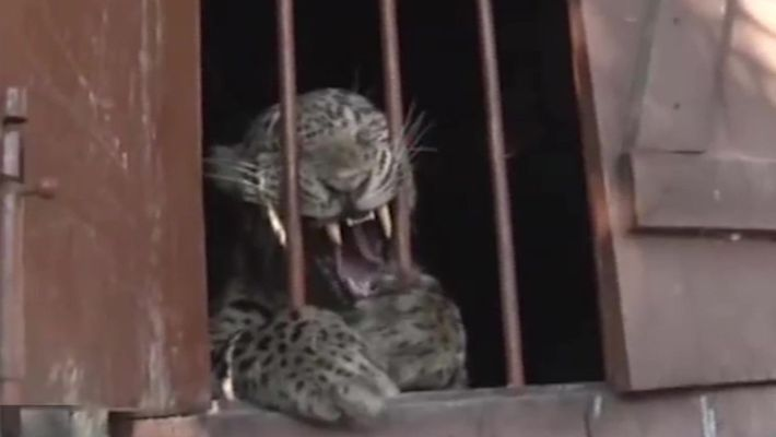 Leopardo ataca 4 pessoas em escola primária na Índia