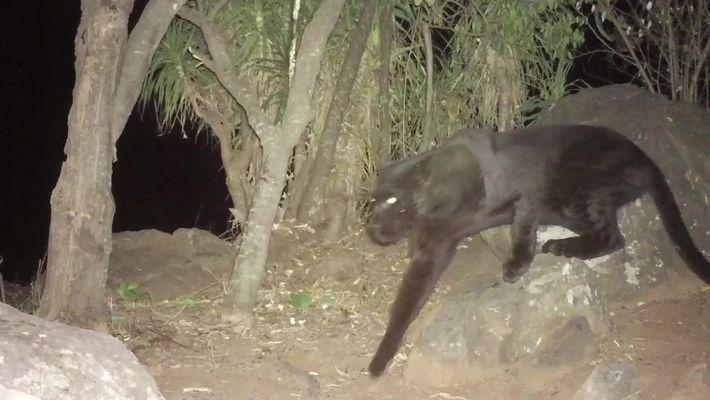 Câmeras remotas confirmam a existência de leopardos pretos vivendo no Quênia