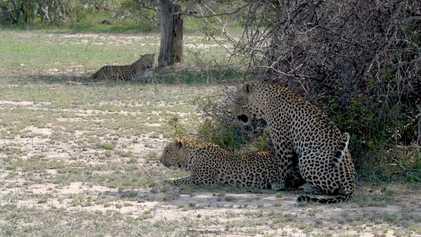 Imagens fortes: irmãs dividem leopardo macho em cenas raras de acasalamento