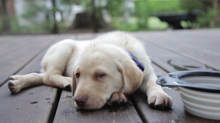 Assim como bebês, cachorros possuem formas não-verbais de conseguirem o que querem