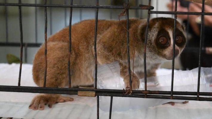 9 lóris-lentos são resgatados do mercado ilegal de animais