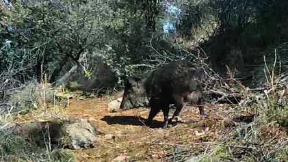 Porcos-do-mato parecem demonstrar sinais de luto por companheiros falecidos