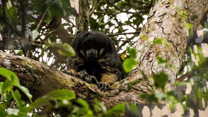 Macaco parauacu de Vanzolini