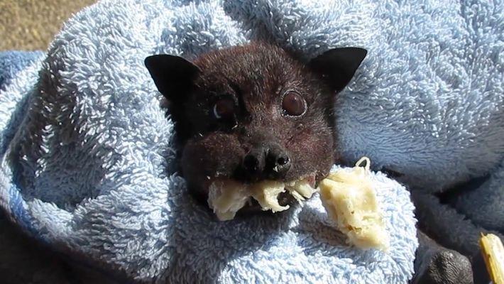 Bebê morcego resgatado se empanturra de banana