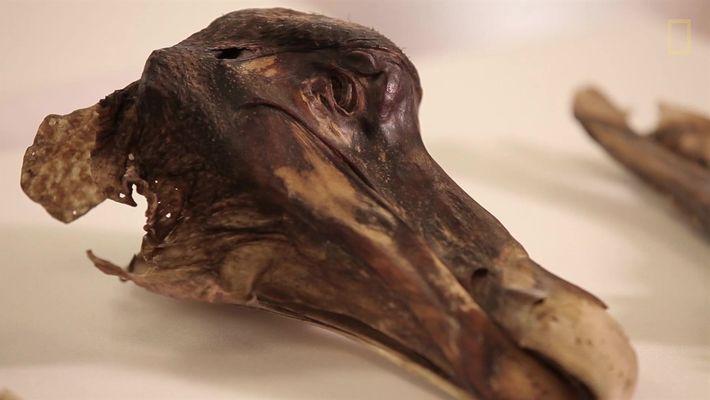 O famoso dodô não apenas morreu — ele foi assassinado