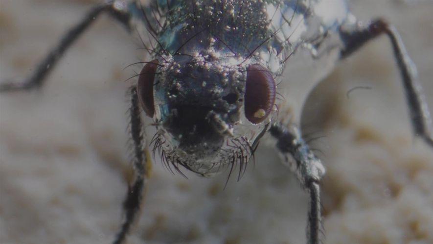 Estas moscas peludas conseguem respirar embaixo d'água