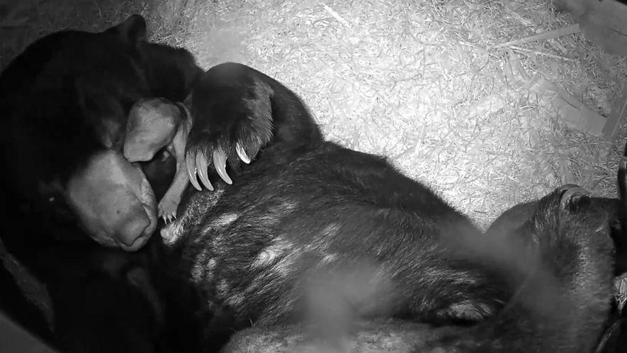 Veja o raro nascimento de um urso-malaio em cativeiro