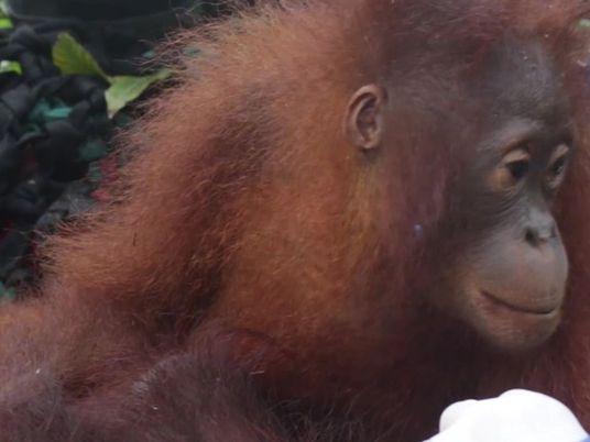 Filhote de orangotango e mãe salvos de encontro fatal com humanos