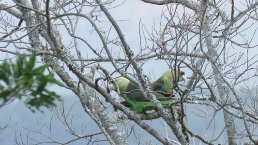 O papagaio mais raro da África é gravado pela primeira vez acasalando