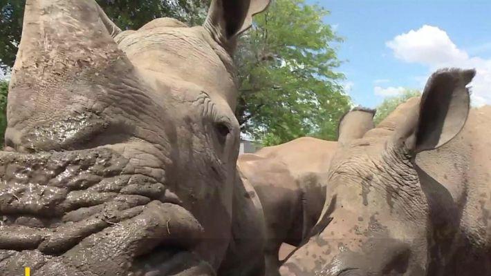 É possível salvar rinocerontes com a venda legal de seus chifres?