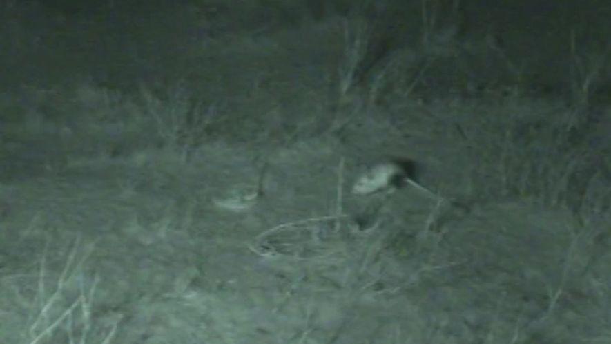 Ratos-cangurus-do-deserto escapam de cobras com saltos acrobáticos