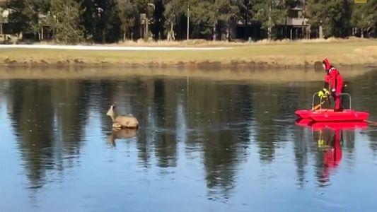 Bombeiro resgata cervo  em lago congelado