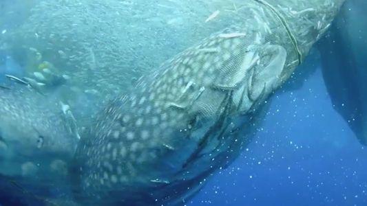 Como mergulhadores libertaram quatro tubarões gigantes