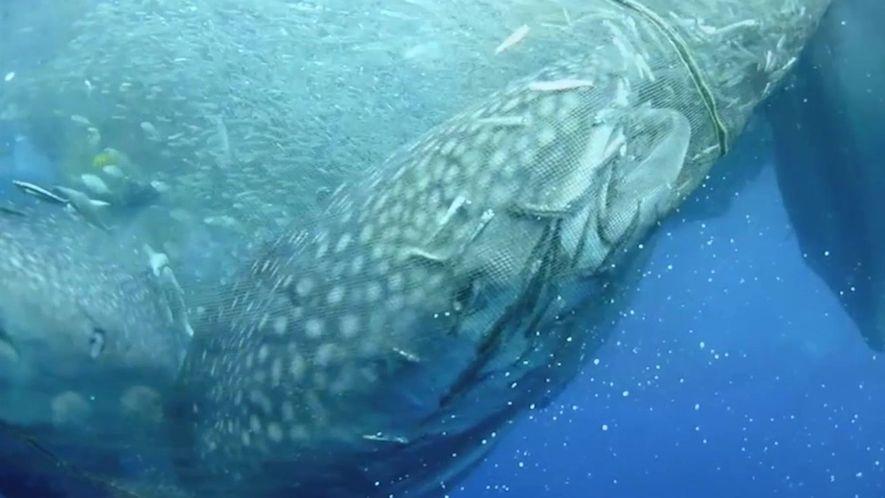Resgate dos tubarões-baleia