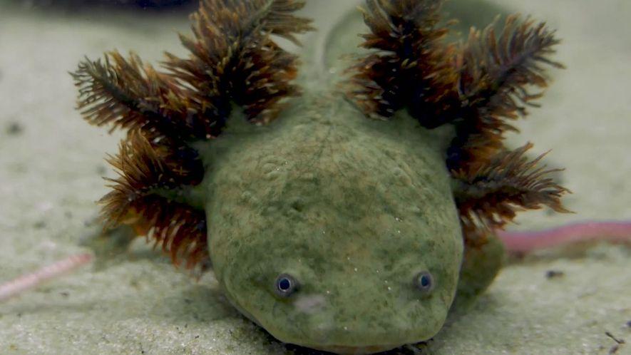 23 freiras lutam pela sobrevivência de salamandras em extinção no México