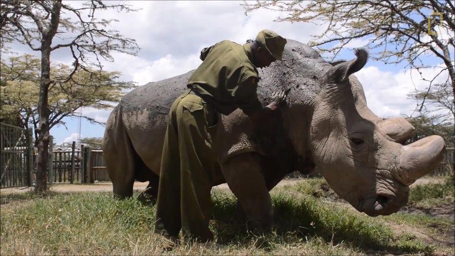 Sudan, o último rinoceronte-branco do norte macho, morreu