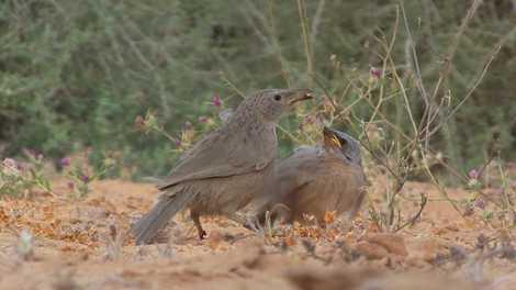 """Tagarelas se escondem para acasalar, mas são eventualmente observados por pássaros """"voyeurs"""""""