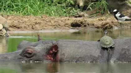 Tartarugas sorrateiras tomam banho de sol nas costas de hipopótamo