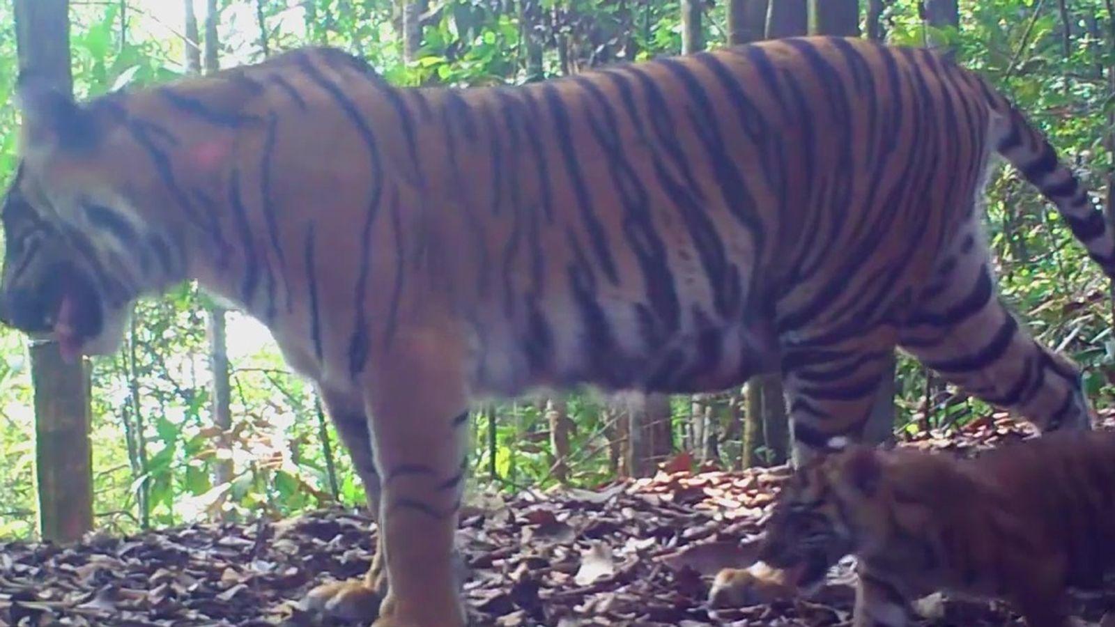 Nascimento de tigres raros na Indonésia traz esperança para a sobrevivência da espécie