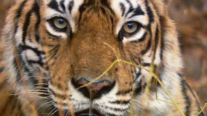A tigresa mais famosa do mundo