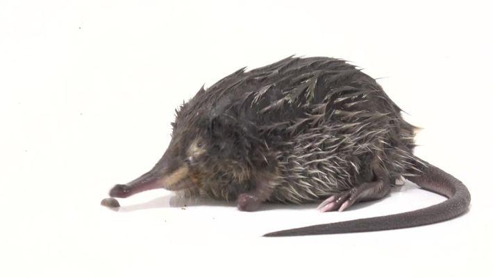 """Este pequeno mamífero possui um focinho """"snorkel"""""""