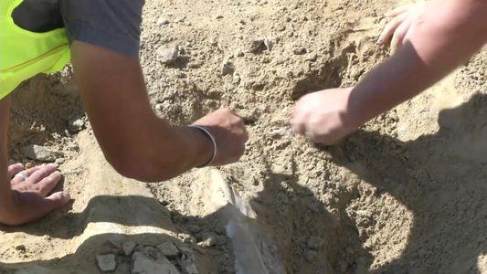 Raríssimo fóssil de triceratops encontrado em canteiro de obra