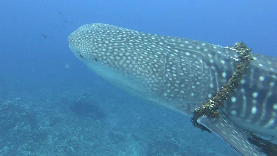 Assista a um mergulhador desenroscar uma corda do pescoço de um tubarão-baleia
