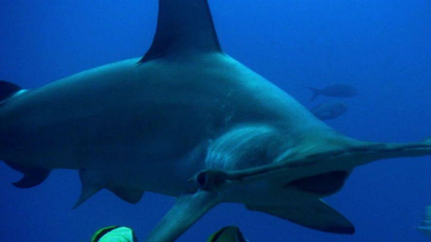 O que faz a cabeça do tubarão-martelo tão vantajosa para a caça?