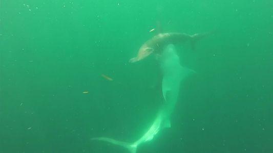 A luta do século: tubarão-tigre versus tubarão-martelo