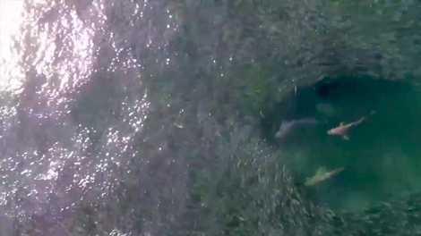 Tubarões gulosos abocanham um cardume gigantesco
