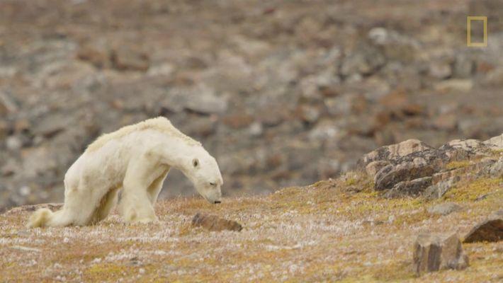 Urso-polar faminto em terra sem gelo
