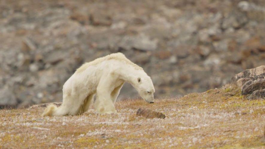 Urso polar faminto vaga por terras descongeladas em arquipélago canadense