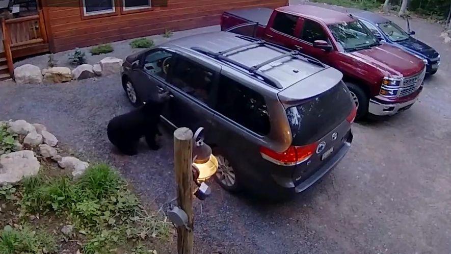 Mamãe urso e seus filhotes são pegos invadindo uma minivan