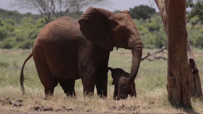 Filhote de elefante preso