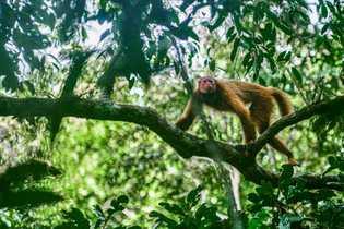 Nome científico: 'Cacajao calvus'  Nome comum:Uacari, também conhecido comocacajau, acari, guacari e macaco-inglês.
