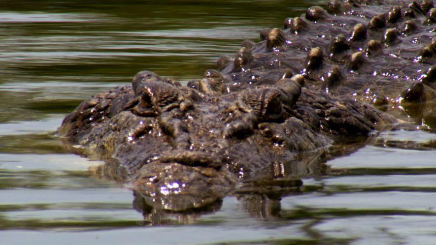 Conheça o crocodilo-de-água-salgada