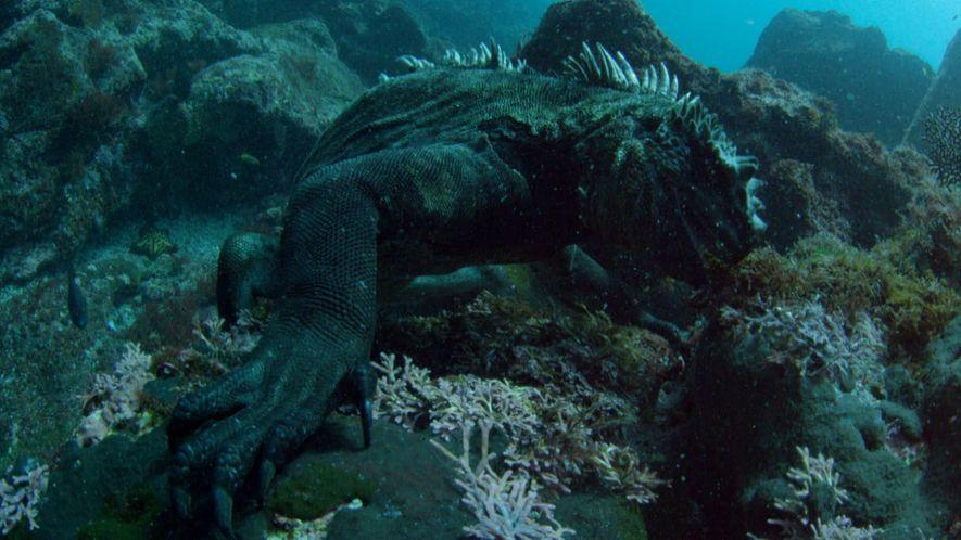 Conheça os iguanas-marinhos