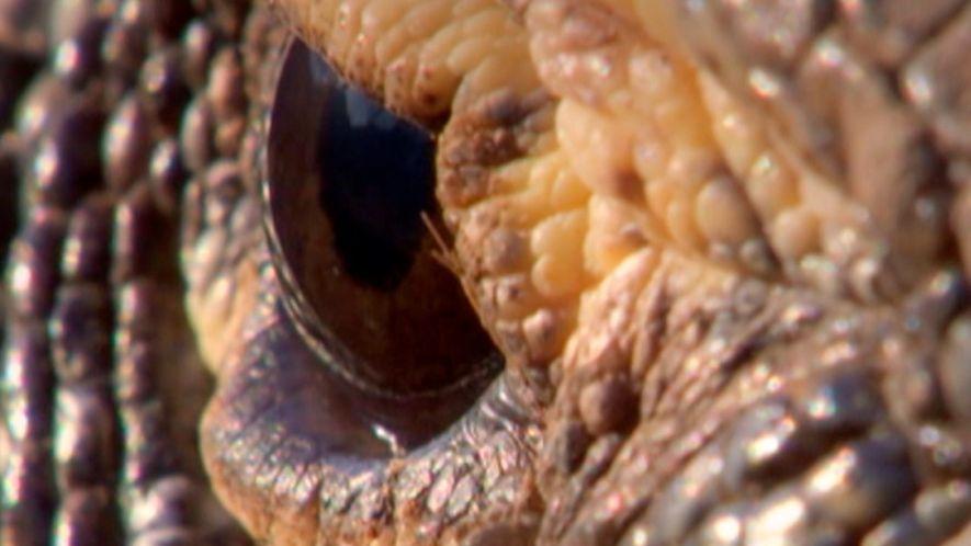 Dragões de Komodo são os maiores lagartos do mundo