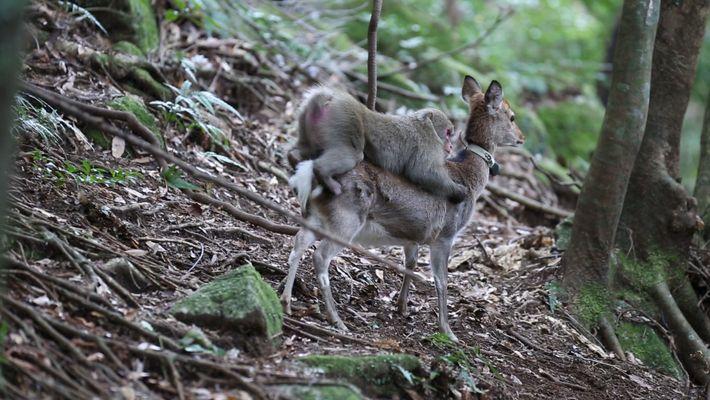 Macaco tenta acasalar com cervo em um comportamento raro entre espécies diferentes