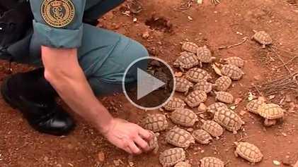 Polícia espanhola apreende uma das maiores criações ilegais de tartarugas do mundo
