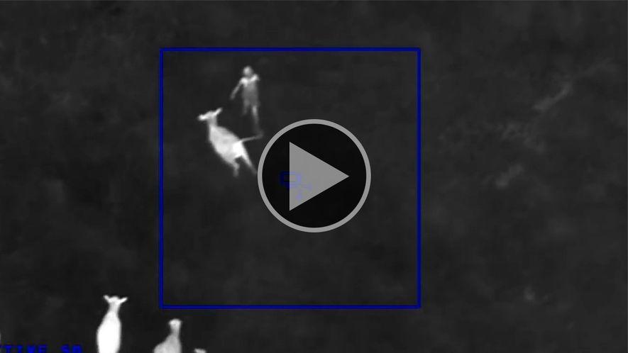 Vacas contra o crime – por que essas vacas perseguiram uma suspeita?
