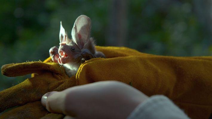 Em busca dos morcegos mexicanos