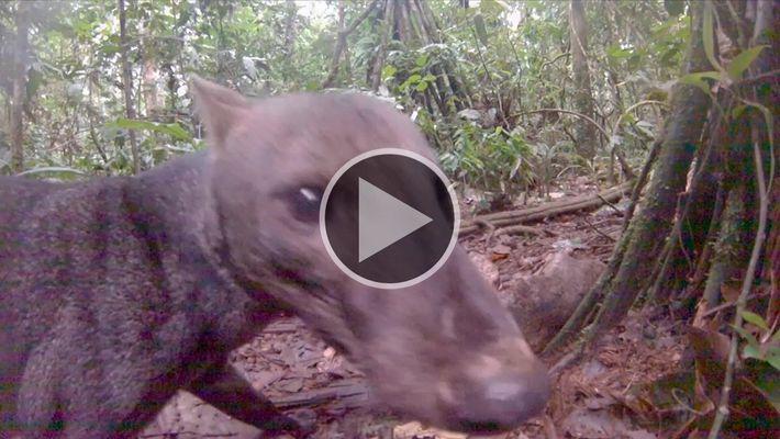 Raríssimo cachorro-do-mato-de-orelhas-curtas filmado na Amazônia
