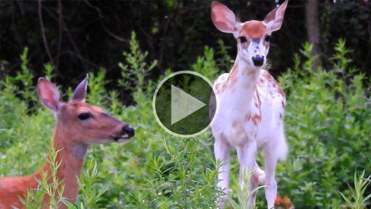 Um cervo branco visto em Nova York traz inspiração para a comunidade de nativos americanos
