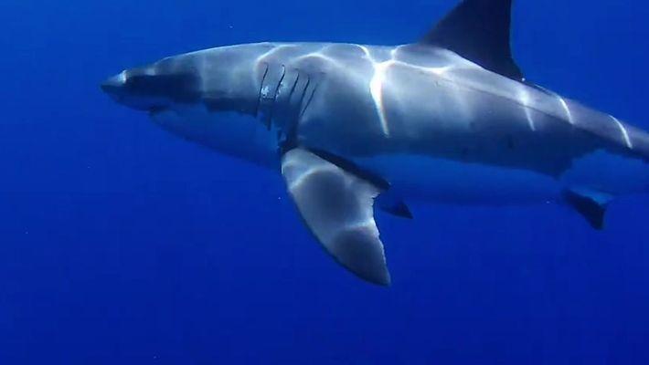 Tubarão-branco ataca drone submarino